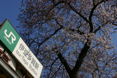 春を感じさせる「多賀桜まつり」のご案内